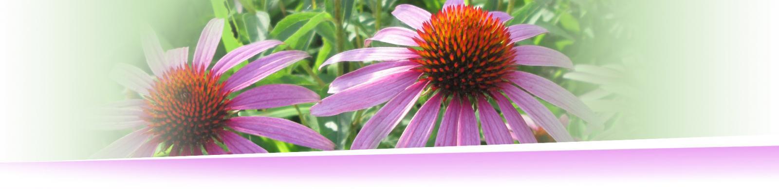 Slide 02 Echinacea